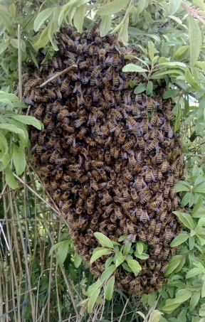 bees_6may2017_crop_453
