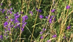 clusteredbellflower_closeup_238
