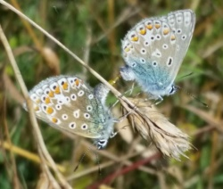 commonblues_mating_250