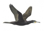 cormorant_flying_180