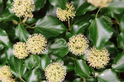 ivy_in_flower_250