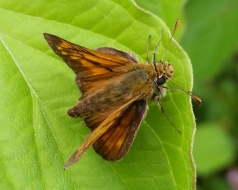largeskipper_238