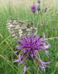marbledwhite_on_grknapweed_crop_250