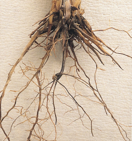 takeall_root_453