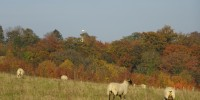 Autumn_Sheep_26OCT15_1000.JPG