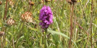 Spotted Orchid July14_web.jpg
